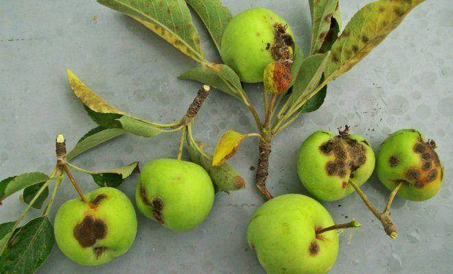 : Болезни яблони
