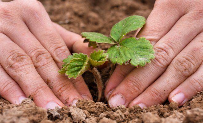 : Саженец клубники не должен быть сильно заглублен в почву