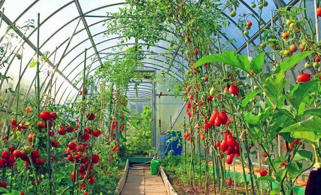 Какие овощи сажать в теплице