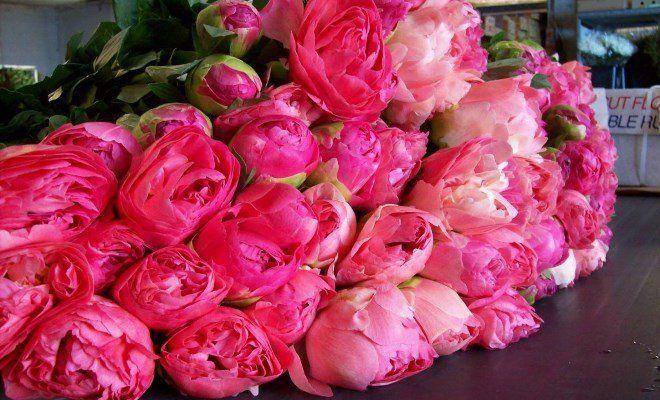 Розы похожие на пионы название