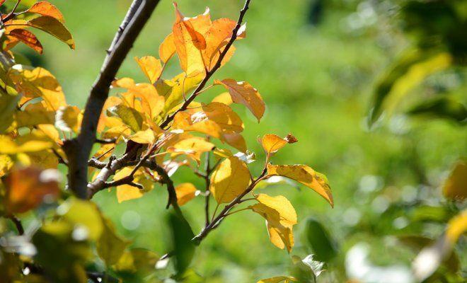 Желтеют листья на яблоне что делать фото