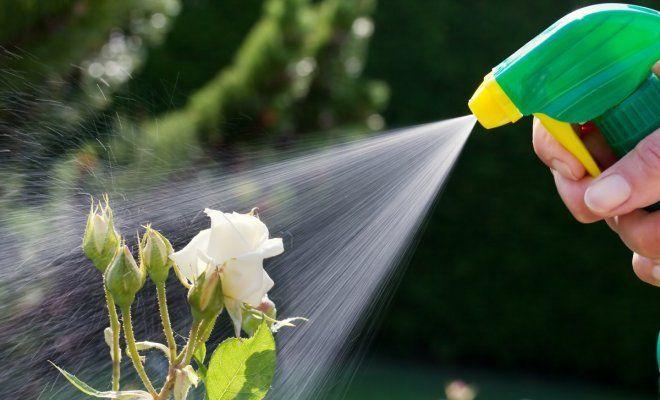 : Обработка роз инсектицидами