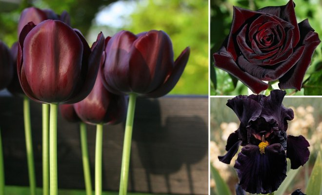 Растение с черным цветком фото