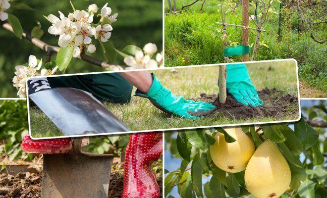 С чем сажать грушу