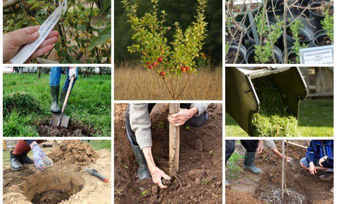 : Коллаж - посадка деревьев осенью