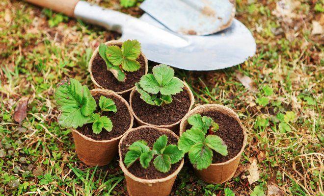 Клубника из семян выращивание дачные хитрости 763