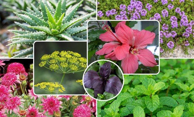 : лекарственные растения в квартире