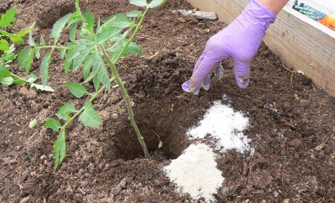 : Удобрение для рассады помидоров
