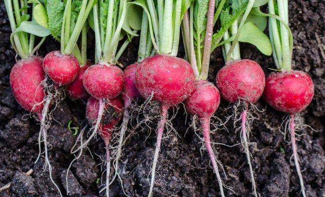 : Урожай редиса