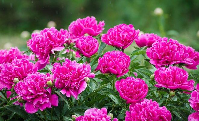 : секреты пышного цветения пионов
