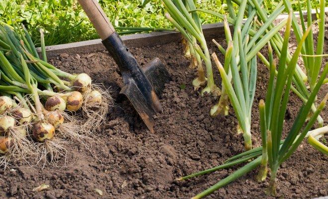 : Сбор урожая лука