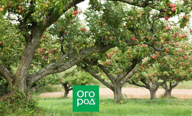 : Яблоневый сад
