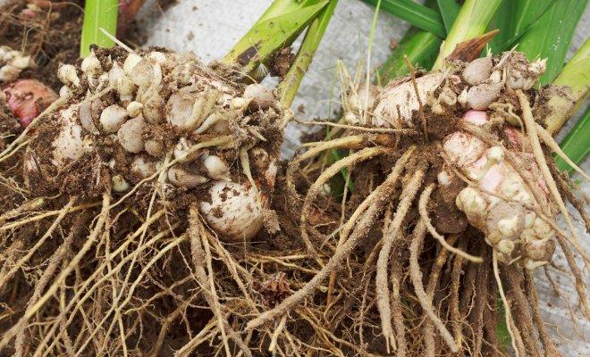 : Выкопанные луковицы гладиолусов