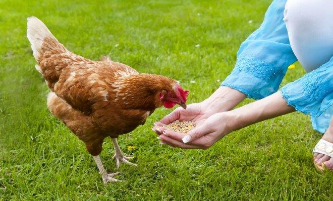 : Чем кормить кур