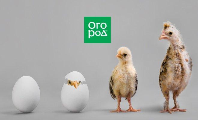 : Рост цыплят