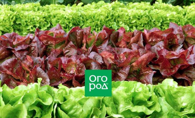 : Все виды и лучшие сорта салатов для теплицы и открытого грунта