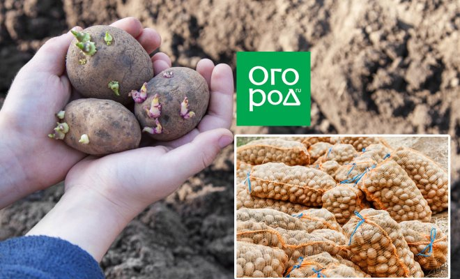 : Подготовка картофеля к посадке