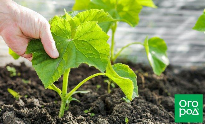 : когда и как правильно сажать в грунт рассаду огурцов
