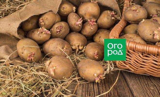 : Картофель на соломе
