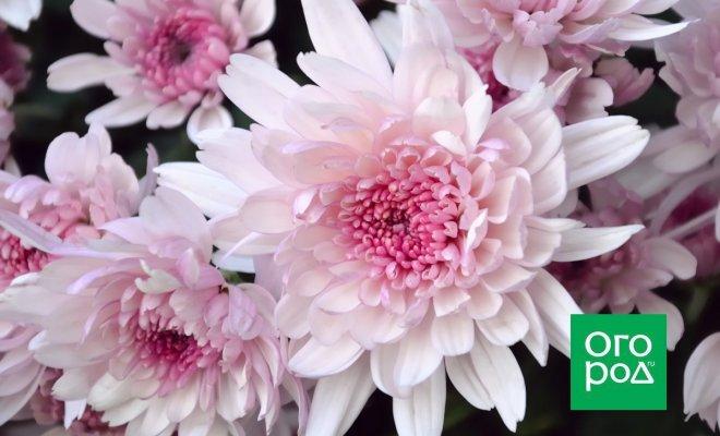 : розовая хризантема