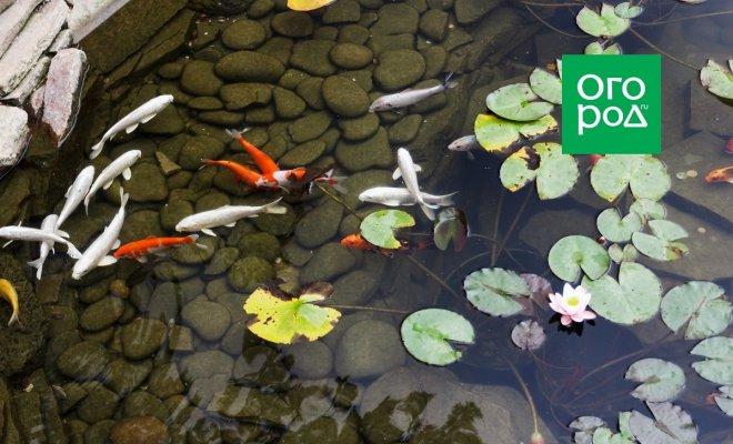 : рыбки в пруду
