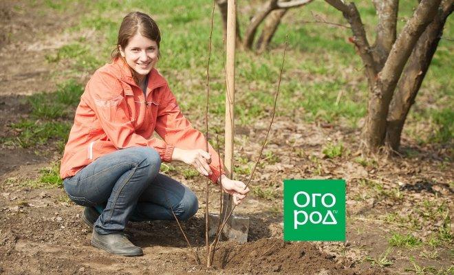 : женщина сажает дерево