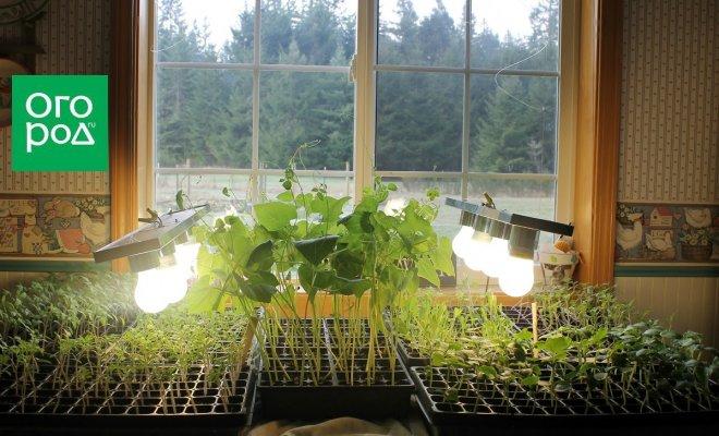 : выращивание рассады