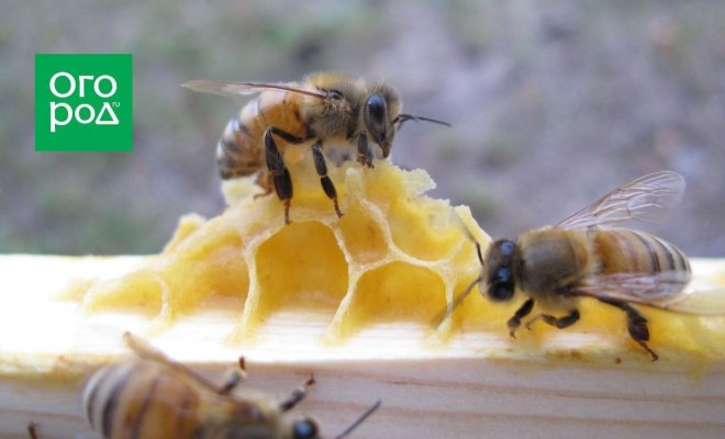 : пчелы строят соты