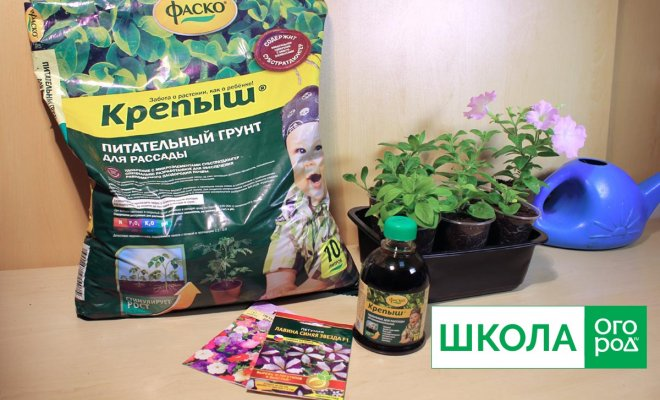 : Выращивание петунии