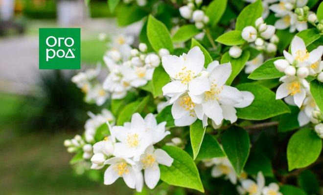 : садовый жасмин или чубушник