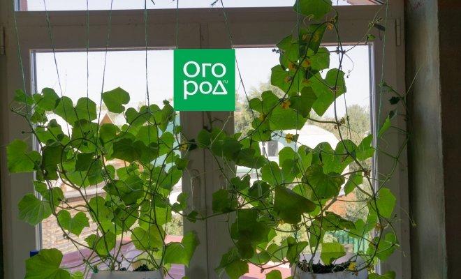: выращивать огурцы на подоконнике