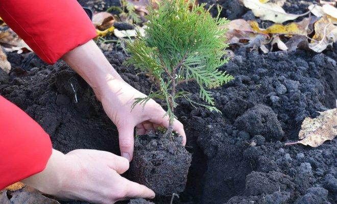 : Как посадить тую осенью
