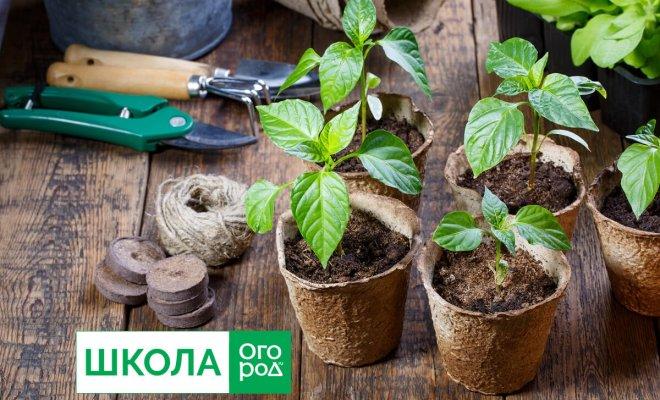 : Как вырастить крепкую рассаду перца