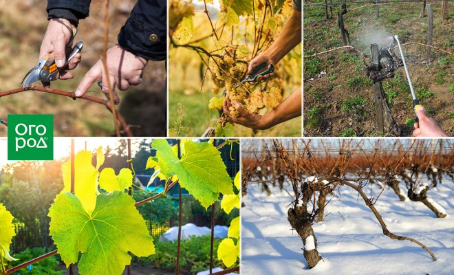 : Уход за виноградом весной