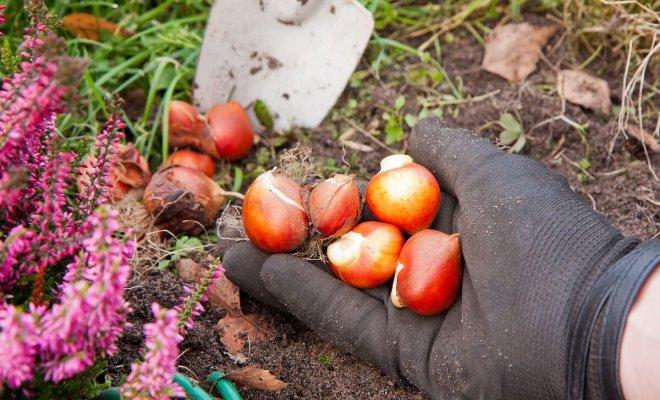 : Как правильно сажать тюльпаны