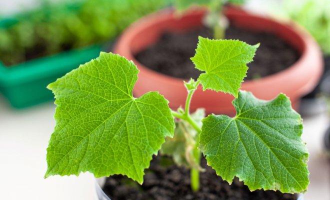 : Выращивание огурцов в квартире