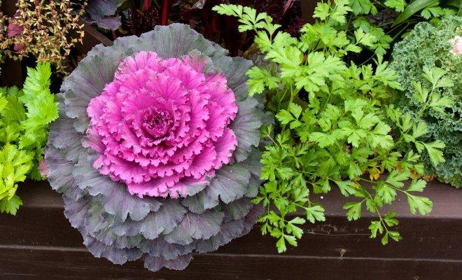 : Как вырастить декоративную капусту
