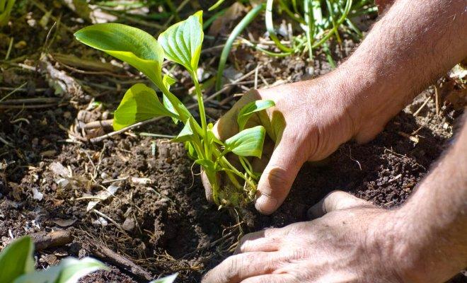 : Как посадить и вырастить хосту