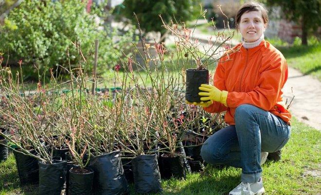 : Как купить качественные саженцы роз