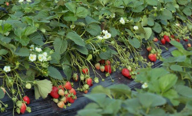 : Как выращивать клубнику по финской технологии
