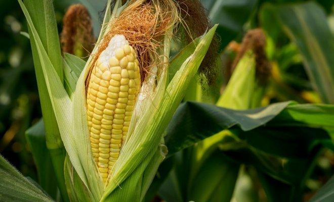 : Выращивание кукурузы на даче