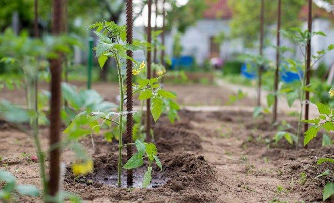 : Чем подкормить помидоры для плодоношения