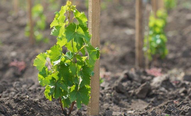: Как правильно посадить и ухаживать за виноградом