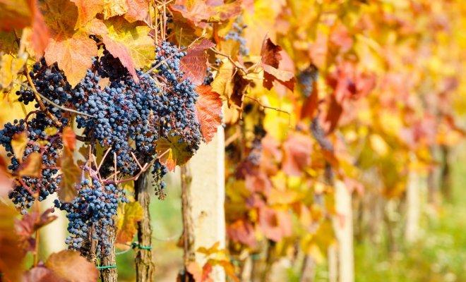: Виноград осенью