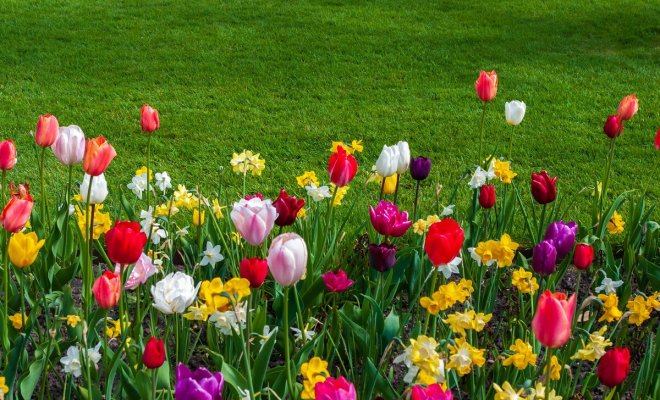: Тюльпаны и нарциссы на краю газона