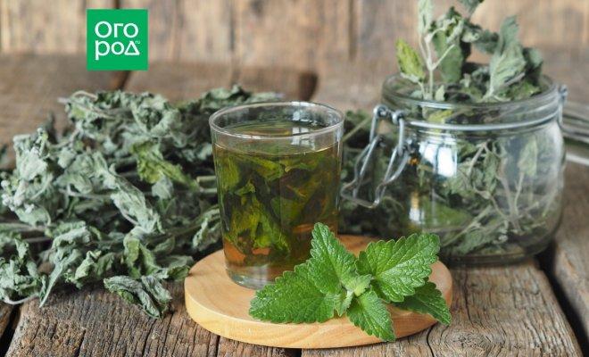из какого растения делают чай матча