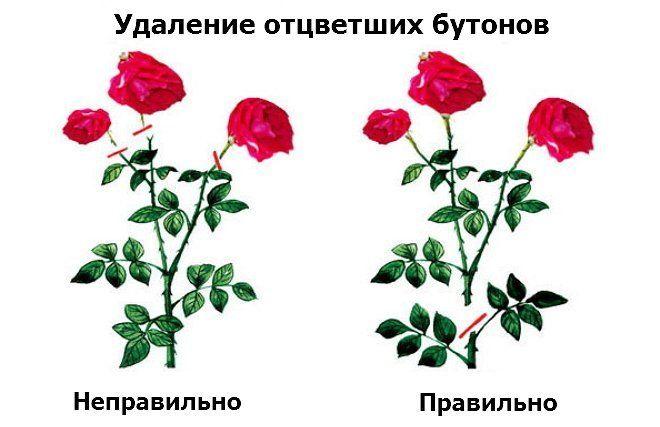 Как обрезать отцвётшие розы