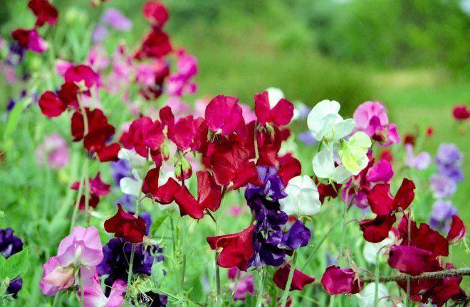 Виды клематиса фото  выращивание и уход  Сайт о саде