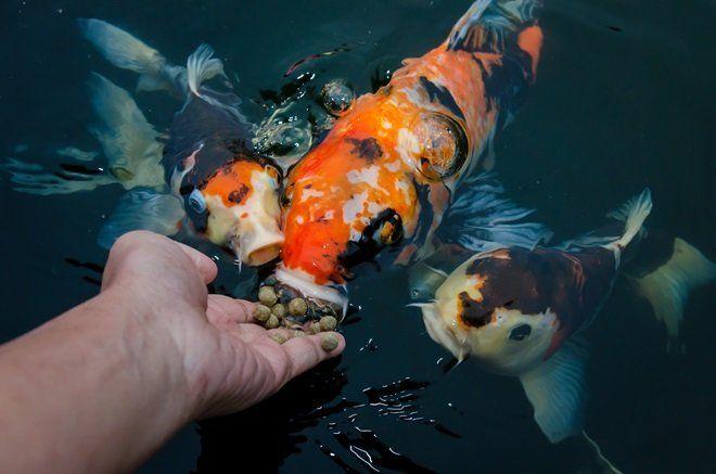 Как кормить рыб