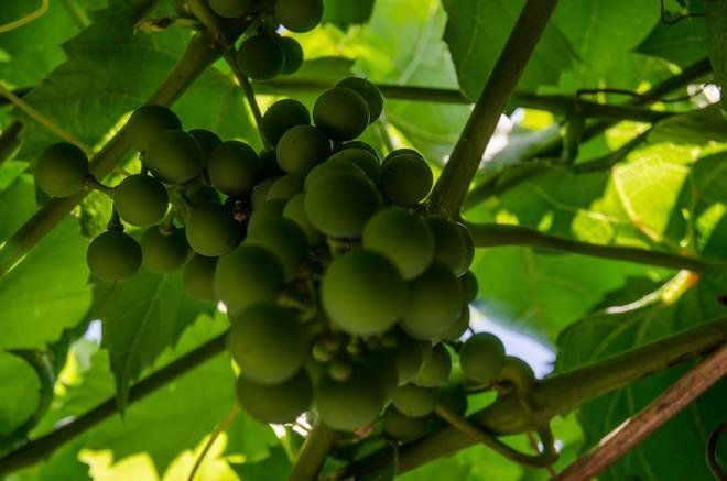 Удаляют ягоды для того, чтобы к оставшимся поступало больше солнечного света